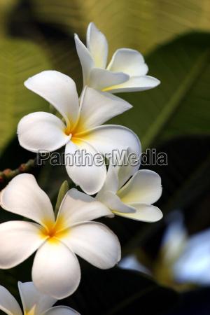 white, frangipani, plumeria, alba - 517807