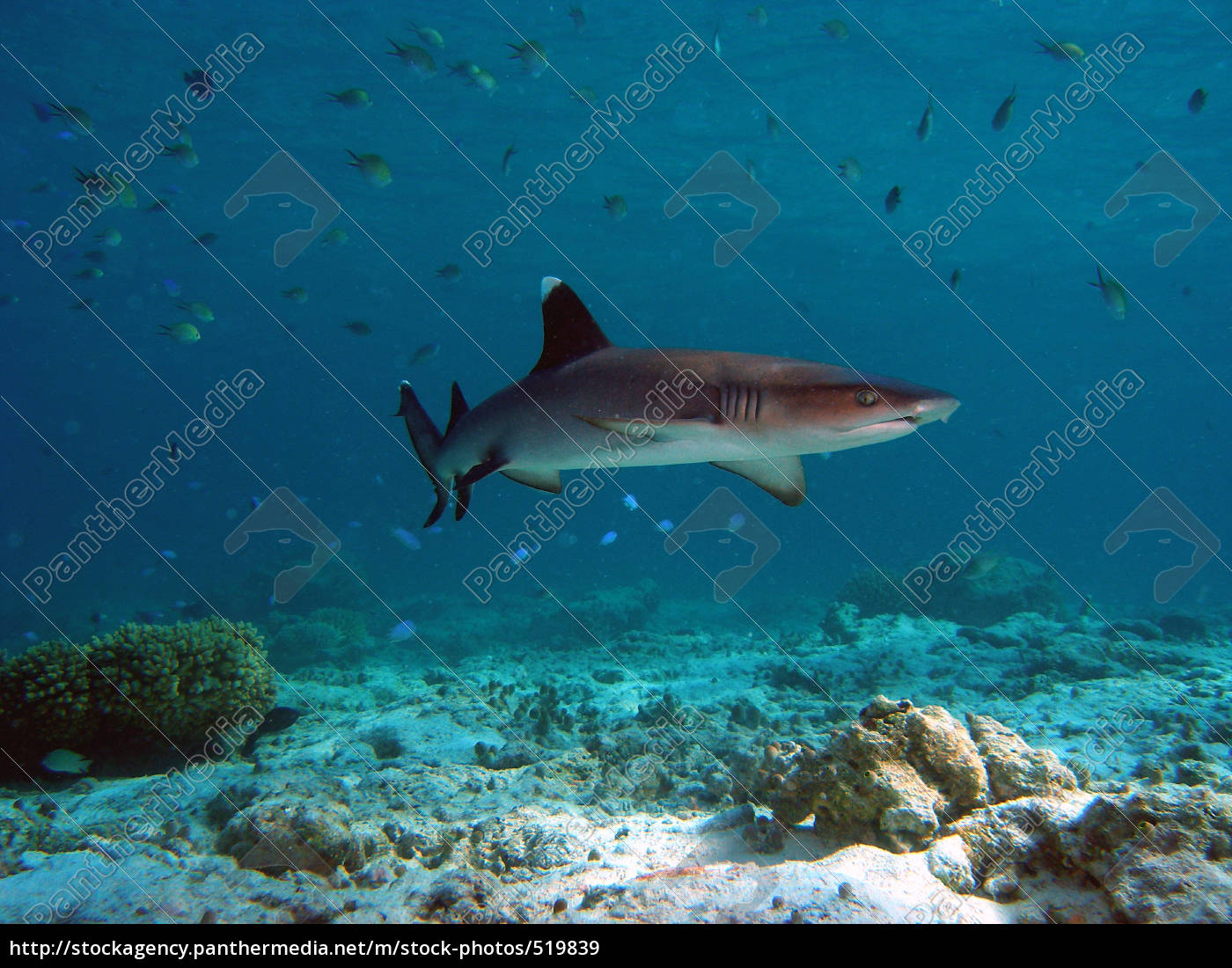 young, white, tip, reef, shark - 519839