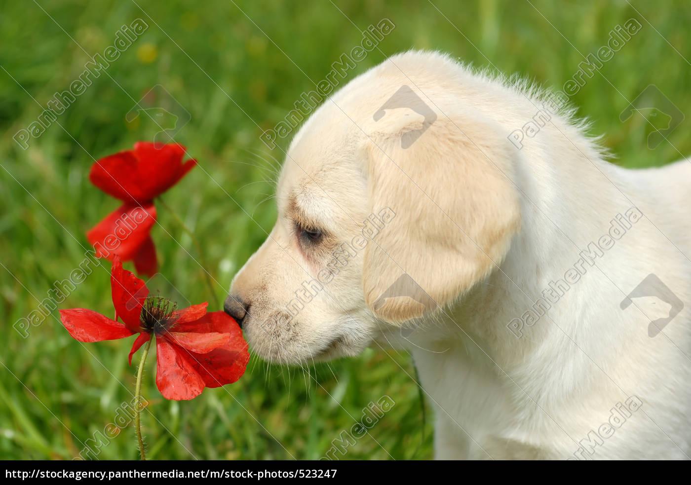 puppy, sniffs, at, poppy - 523247