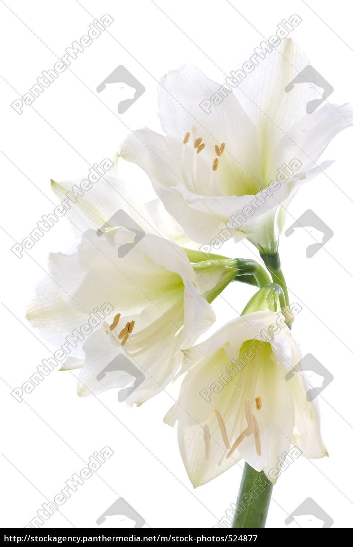 amaryllis, i - 524877