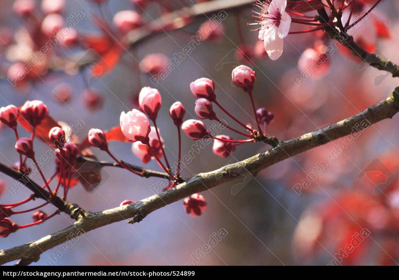 cherry, blossom, branch - 524899