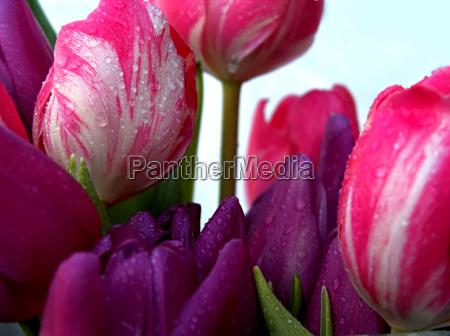 tulips, knallig - 525349