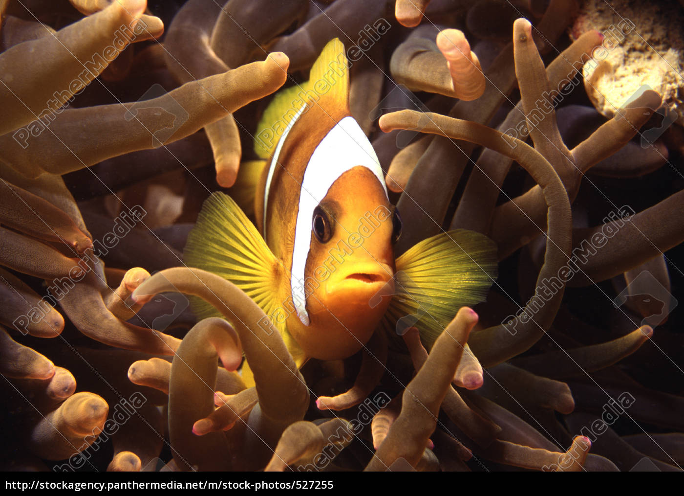 clownfish, in, anemone - 527255