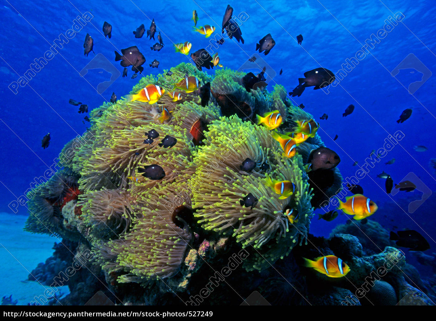 clownfish, with, sea, anemones - 527249