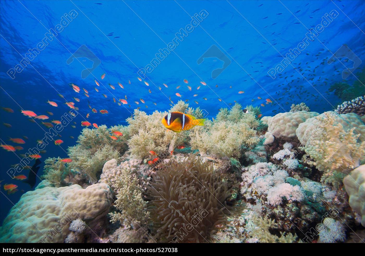 clownfish - 527038