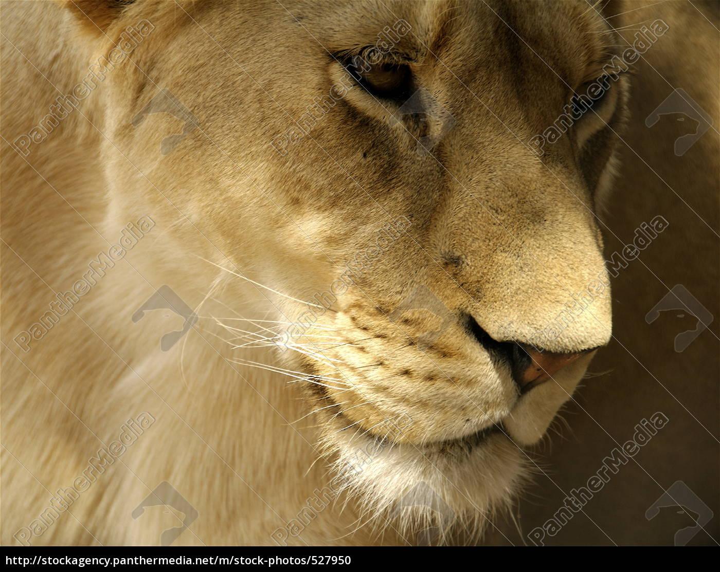 lioness - 527950