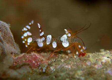 lumbar shrimp