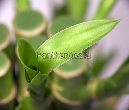 bamboo, i - 529066