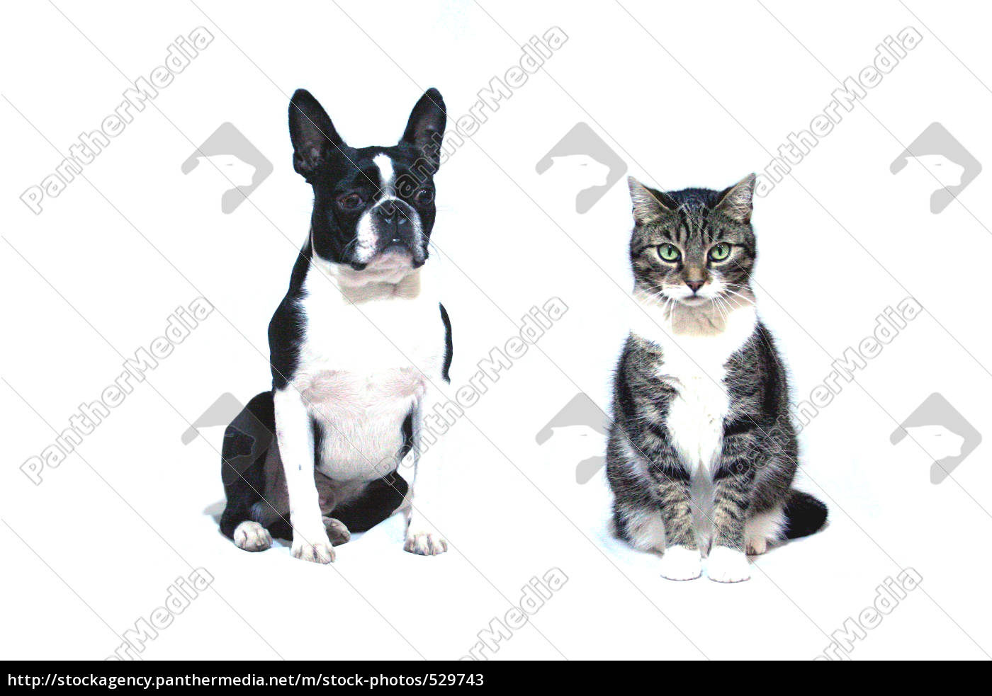 boston, terrier, and, domestic, cat - 529743