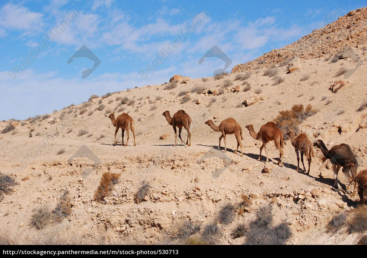 camels, in, the, desert - 530713