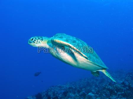 sea, turtle, swimming - 531228
