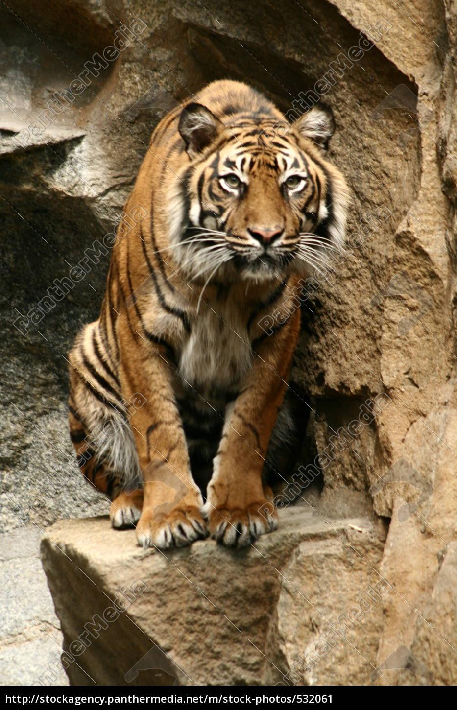 tiger, sitting, panthera, tigris - 532061