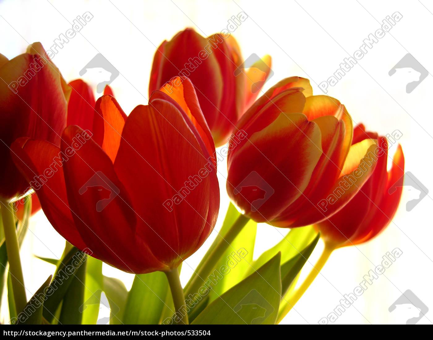 easter, tulips - 533504