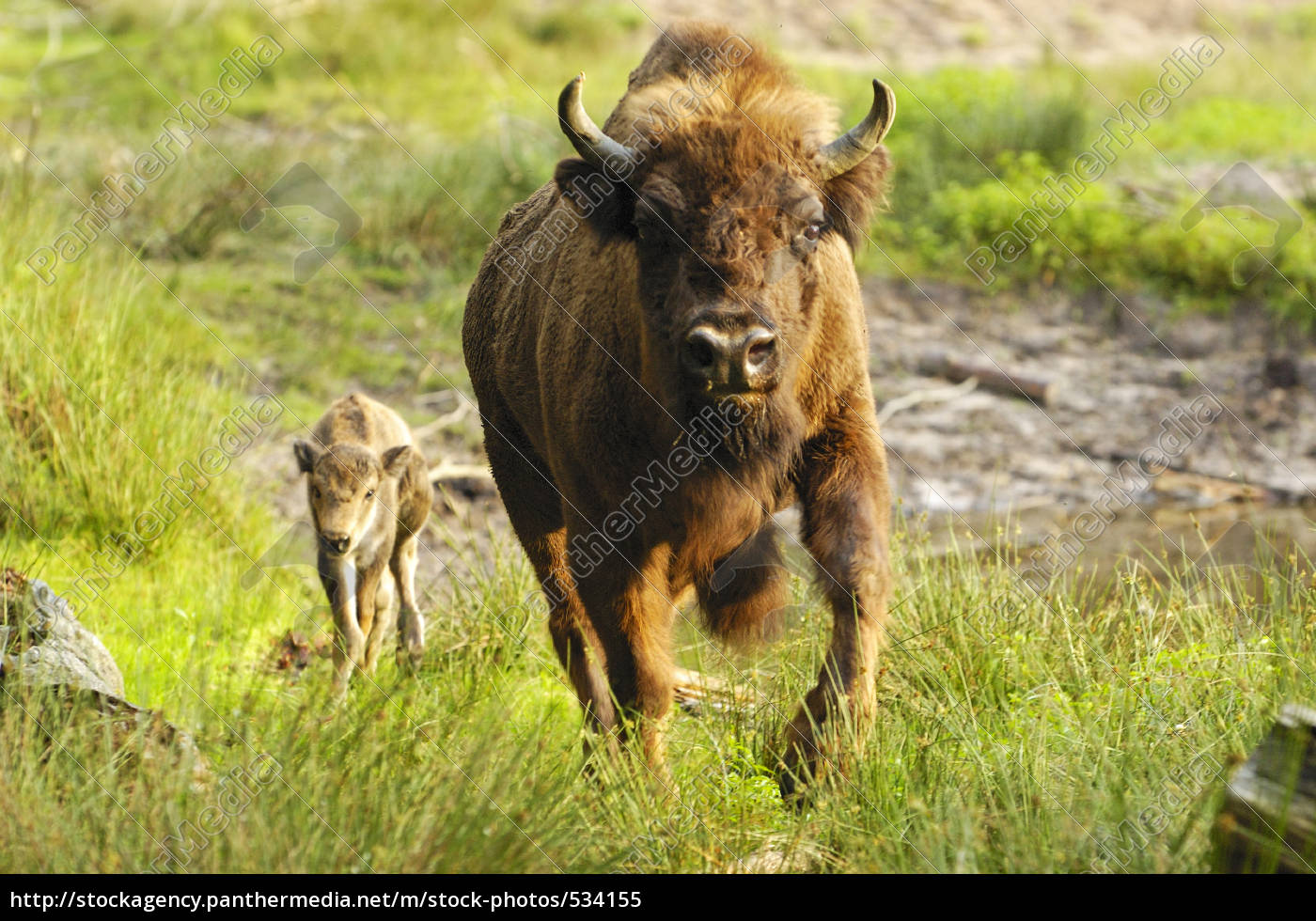 bison, with, calf - 534155