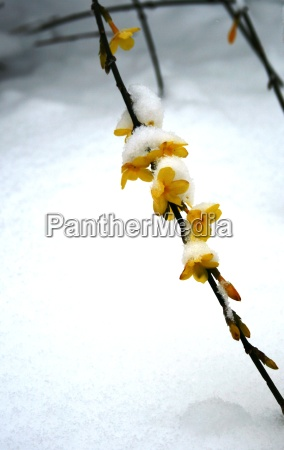 in, the, snow, winterjasmin - 534980