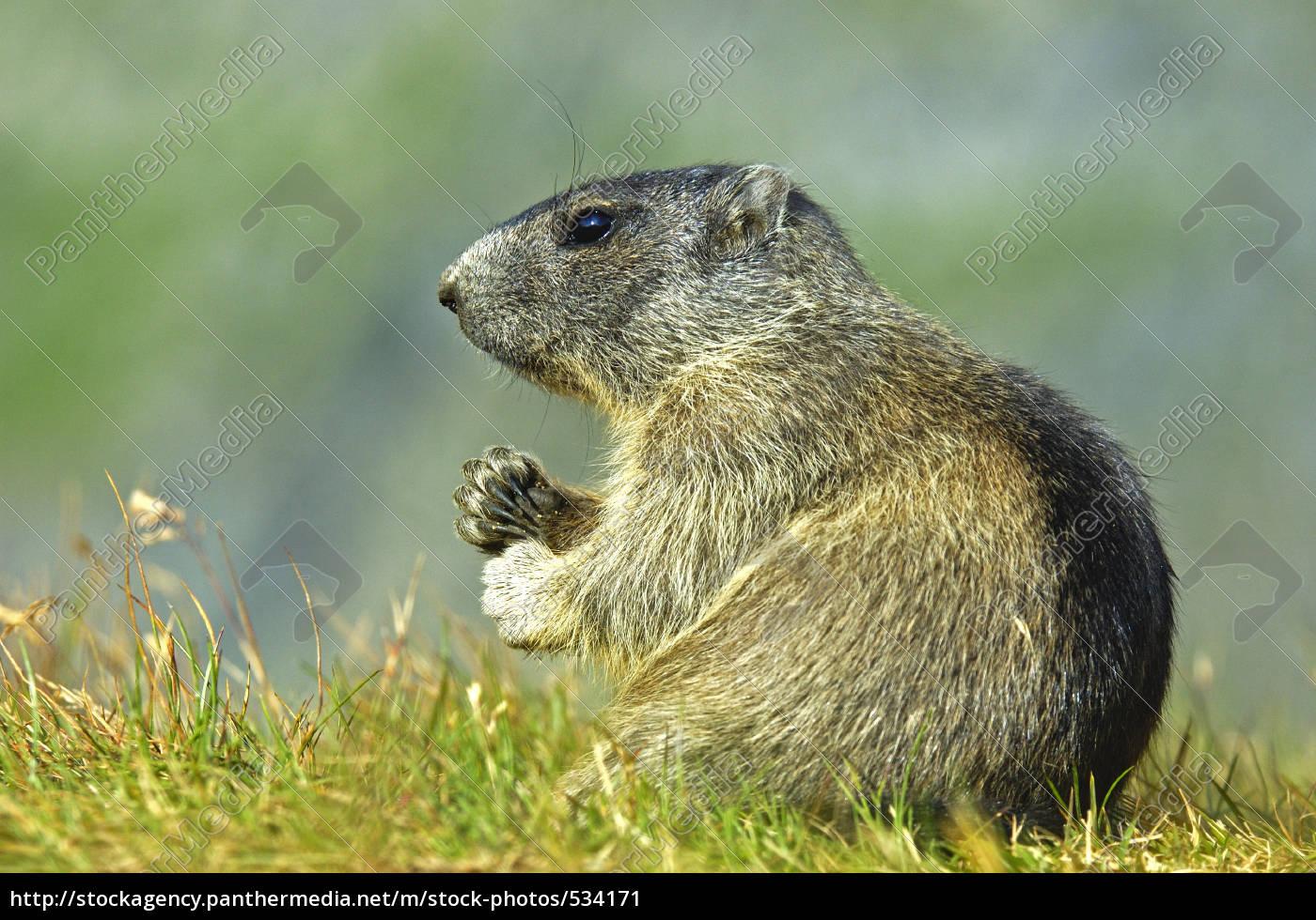 marmot - 534171