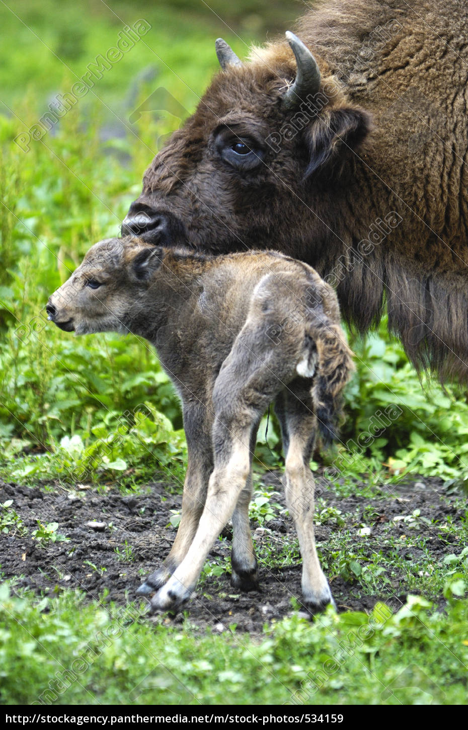 wisent, with, veal - 534159