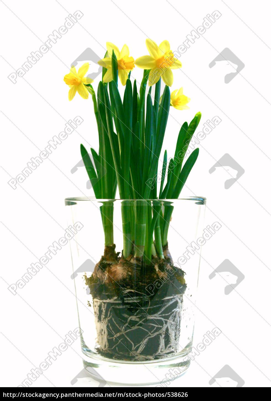 daffodils - 538626