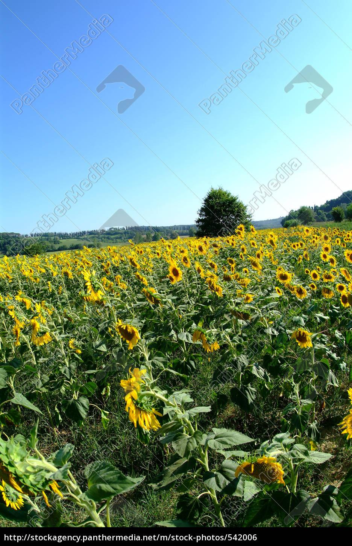 sunflower - 542006