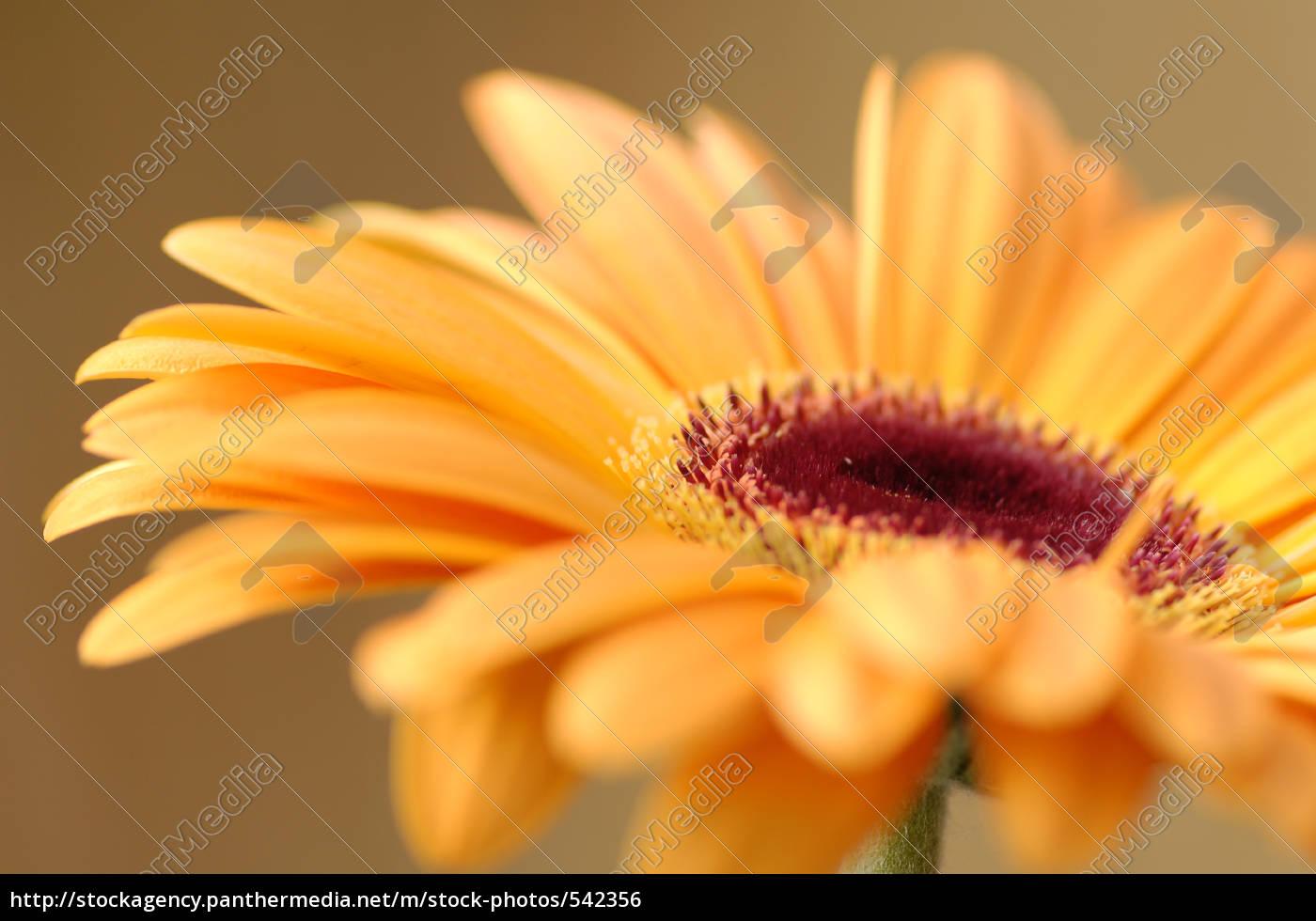 warm, colors, -, gerbera - 542356