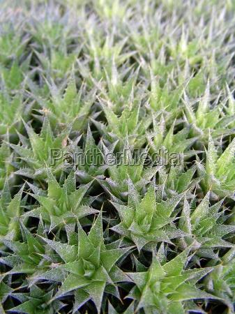 rock cushion deuterocohnia brevifolia