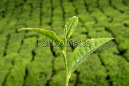 sinensis, before, tea, plantation - 544250
