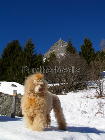poodle, in, the, snow - 547066