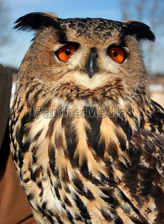 fascination, owl - 548607