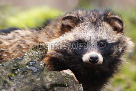 raccoon, dog - 551376