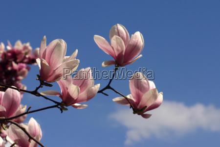 magnolienzweig