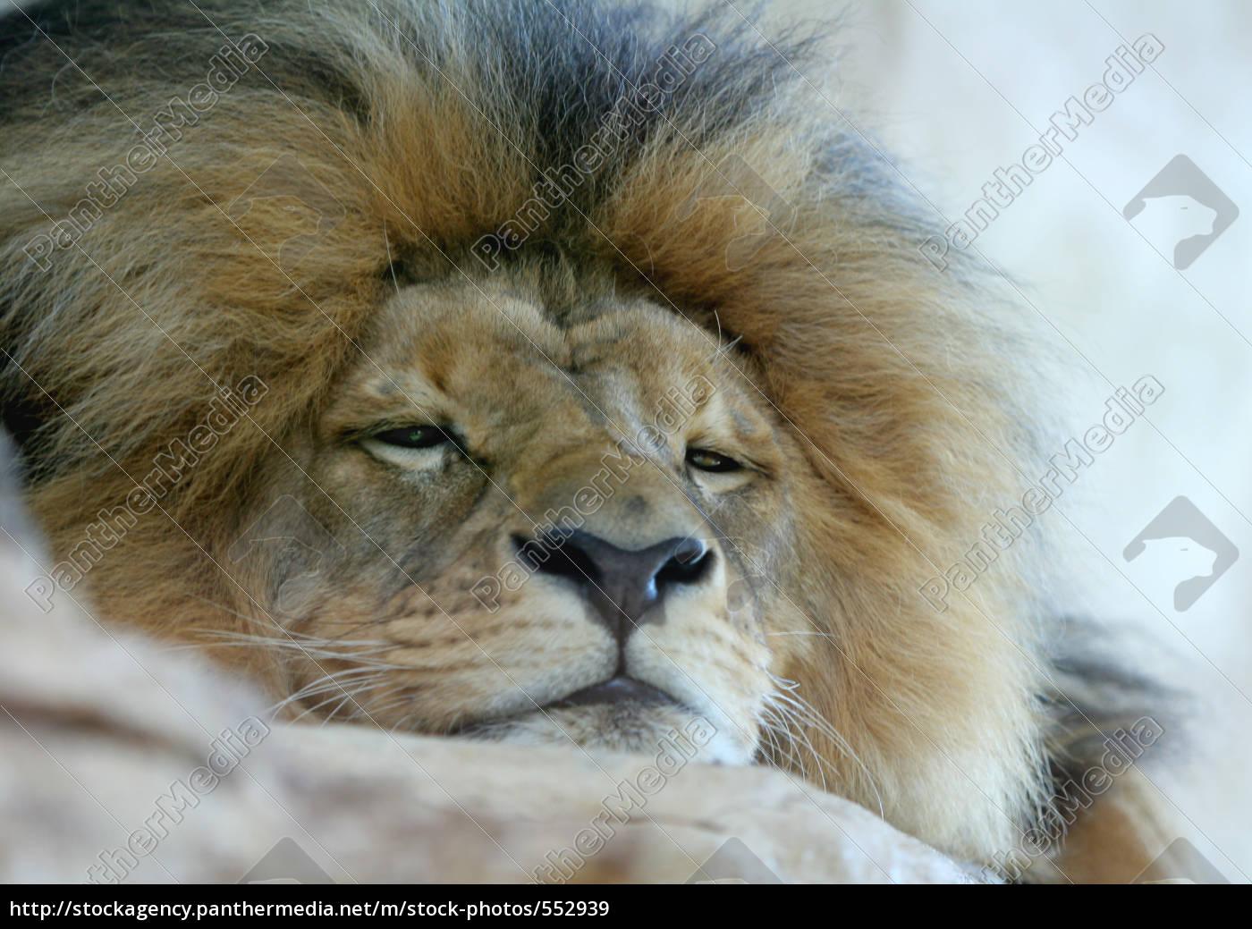 lion - 552939