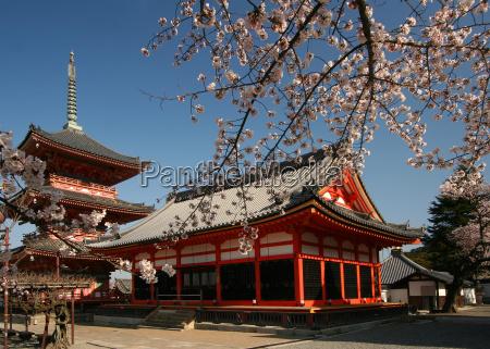 cherry, blossom, in, kyoto - 554181