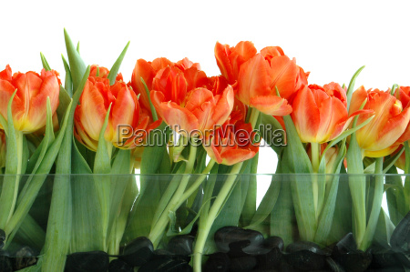 spring, tulips, 4 - 558625