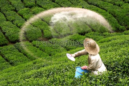bauer scatters fertilizer on green tea
