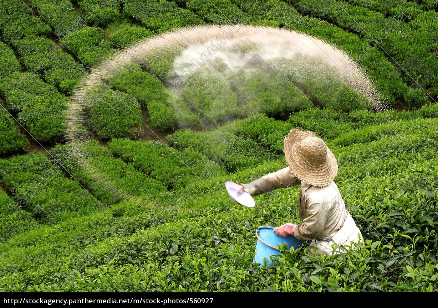 bauer, scatters, fertilizer, on, green, tea - 560927