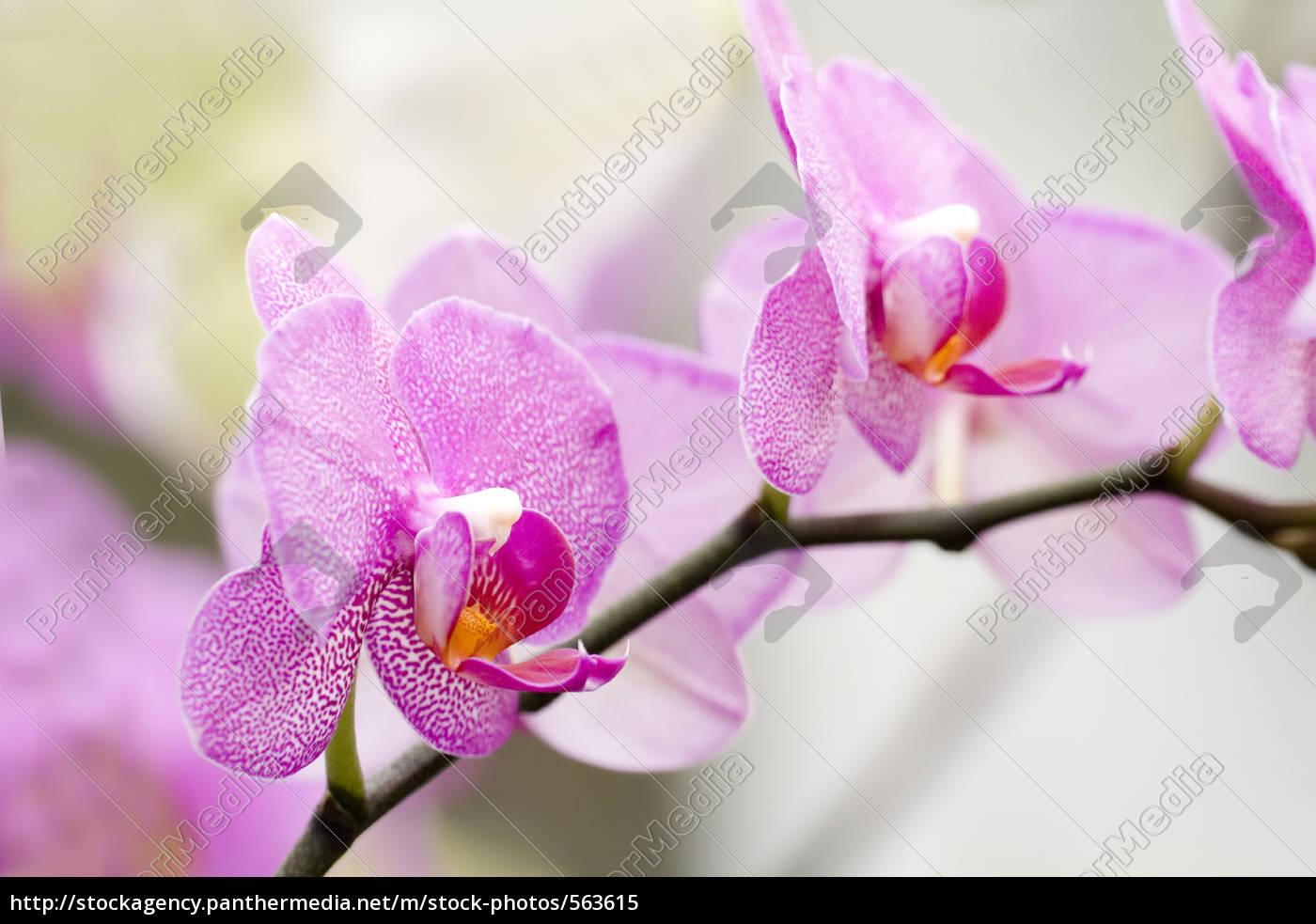 phalaenopsis, orchid - 563615