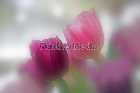 delicate, tulips - 565262