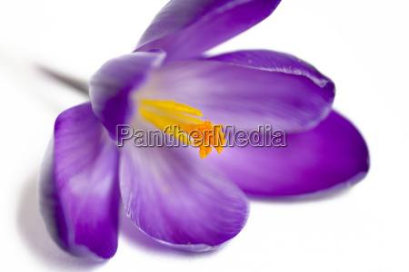 purple, crocus - 566948