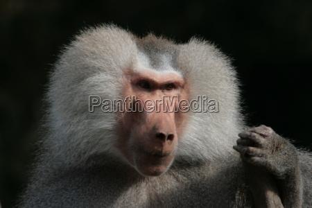 baboon - 567327