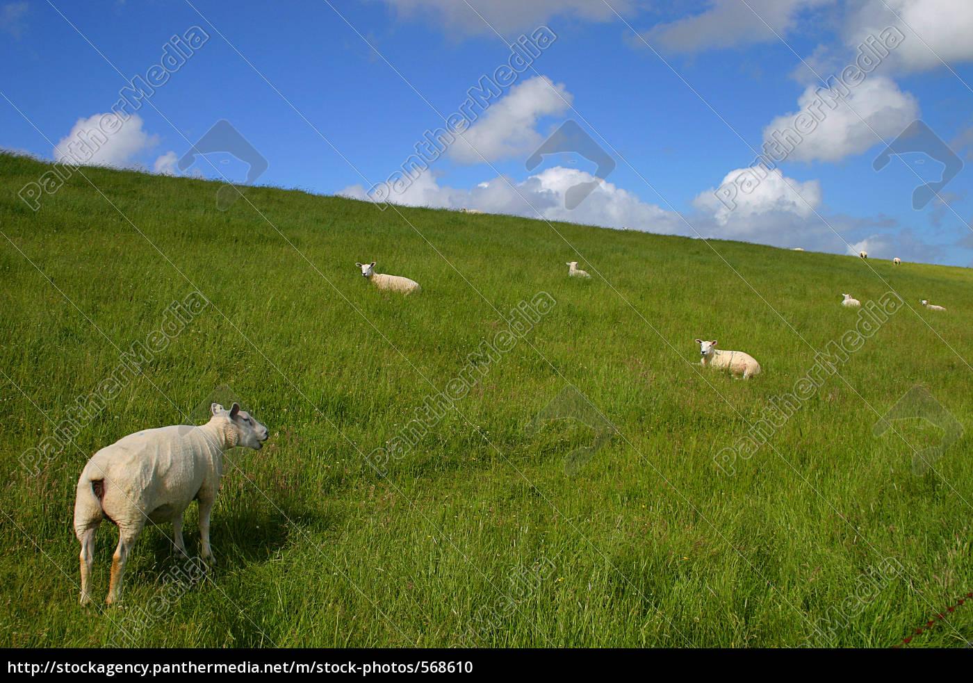 sheep, on, embankment - 568610