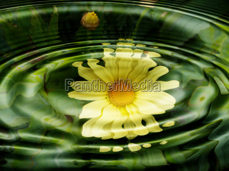 water flora flowers wasserspiegelung