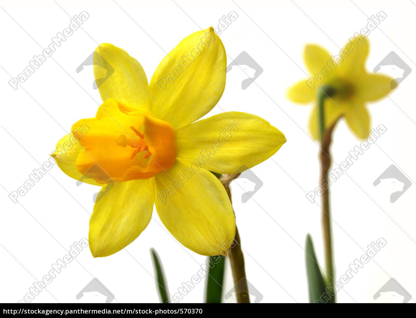 daffodils - 570370