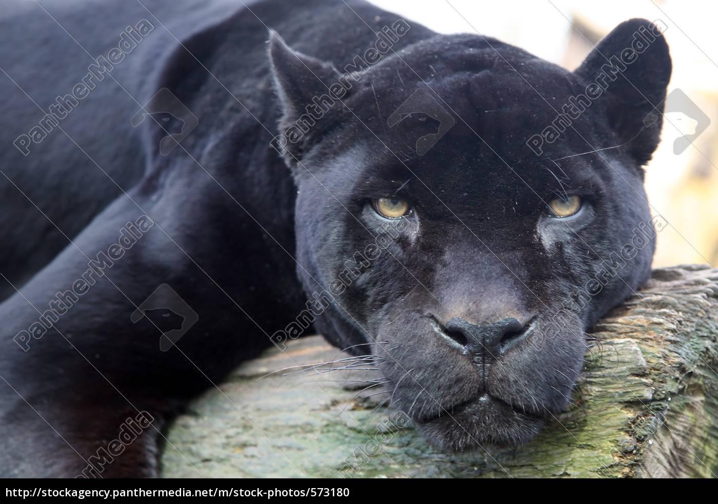 black, panther, 1 - 573180