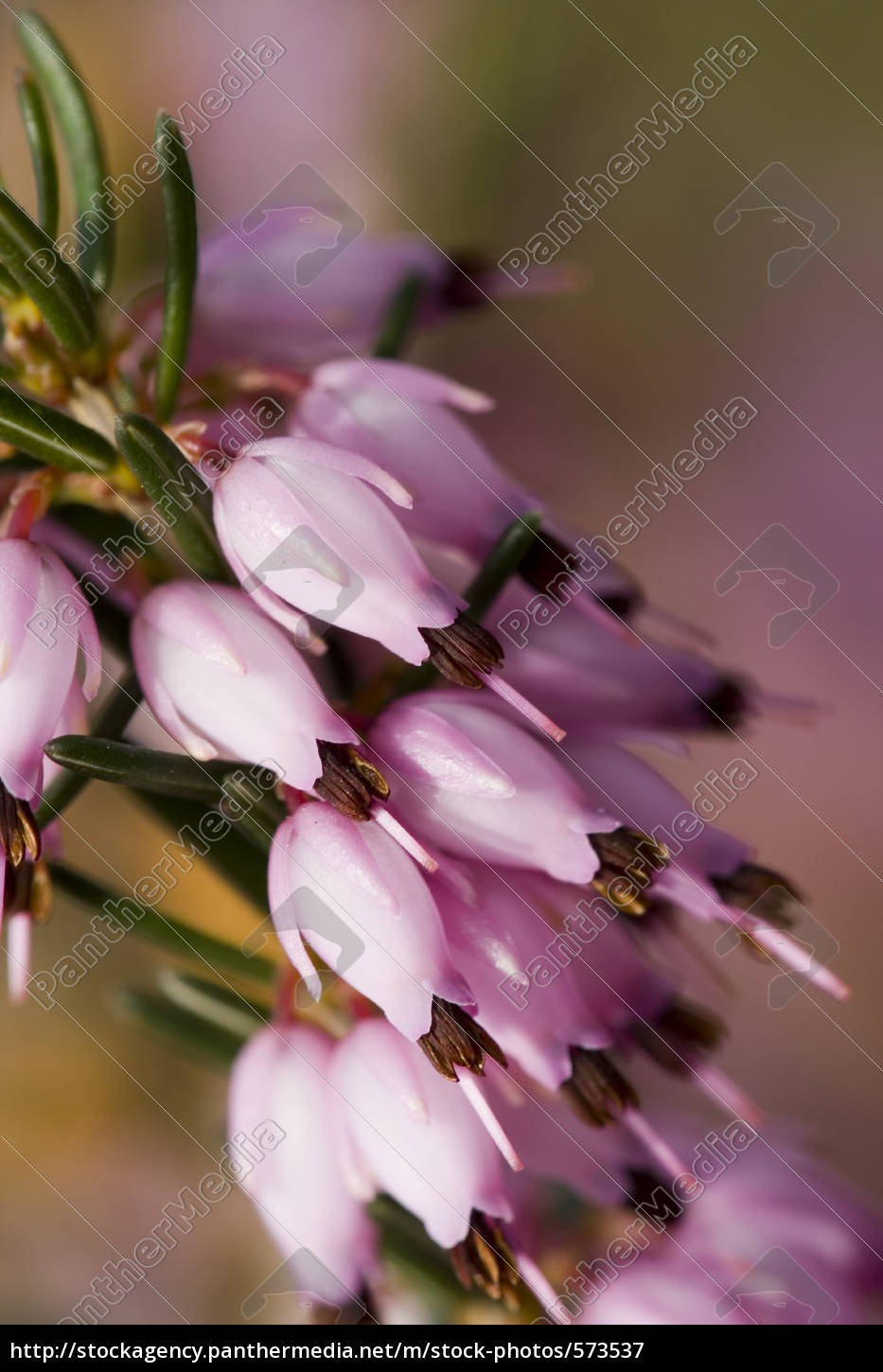 pink, winter, heather - 573537