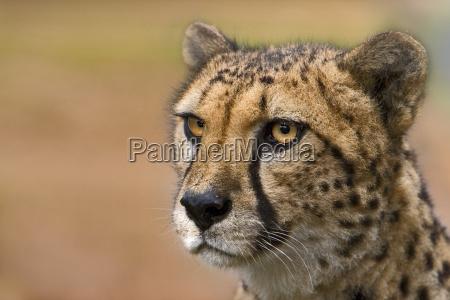 cheetah - 574195