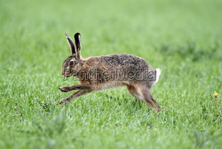 hare, jumps - 576562