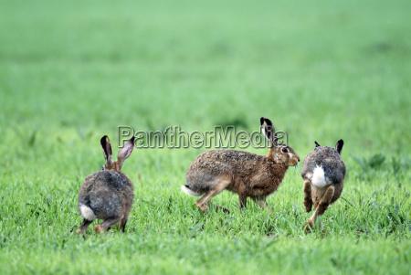three, hares - 576566