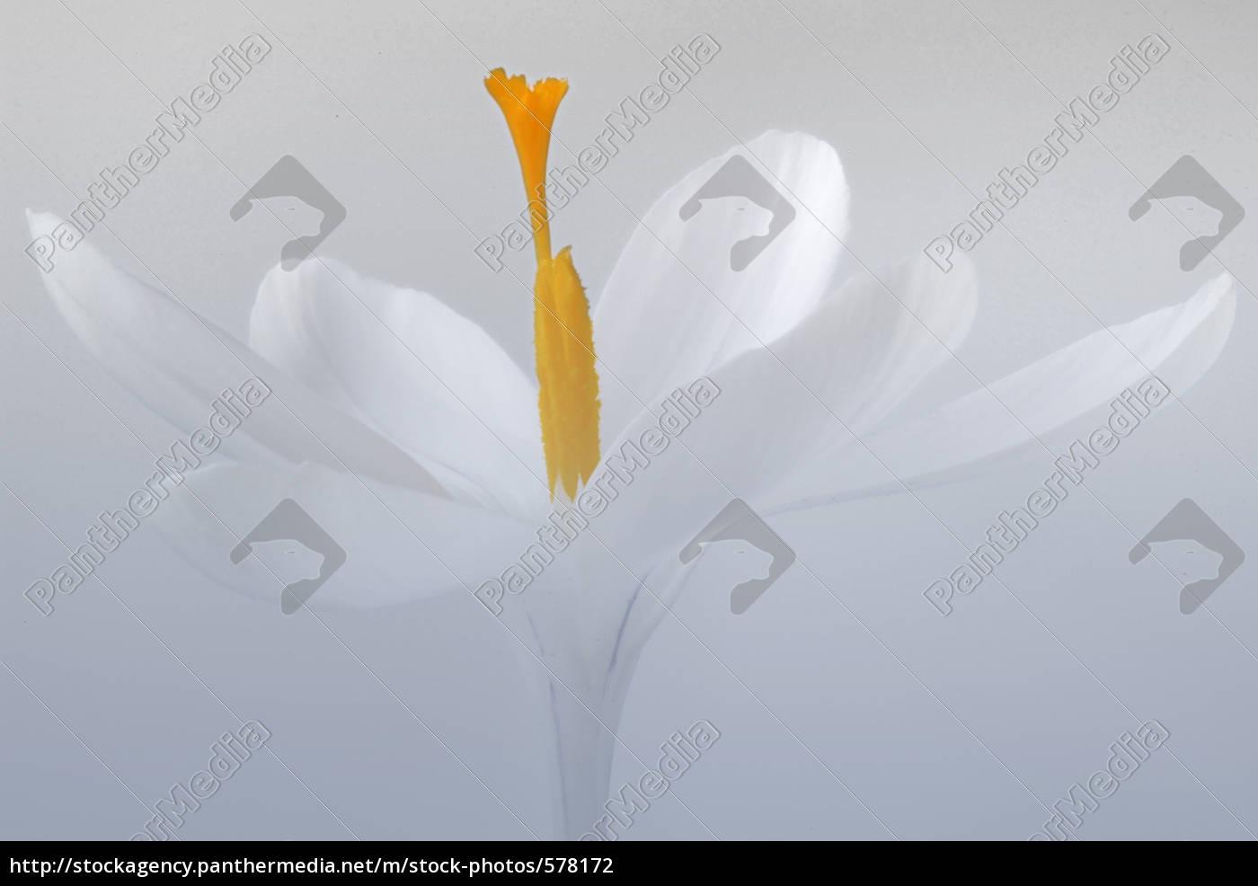 white, crocus - 578172