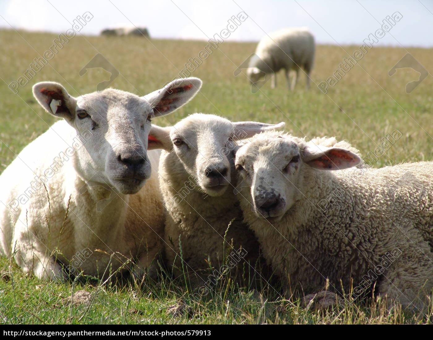 very, tender, sheep - 579913