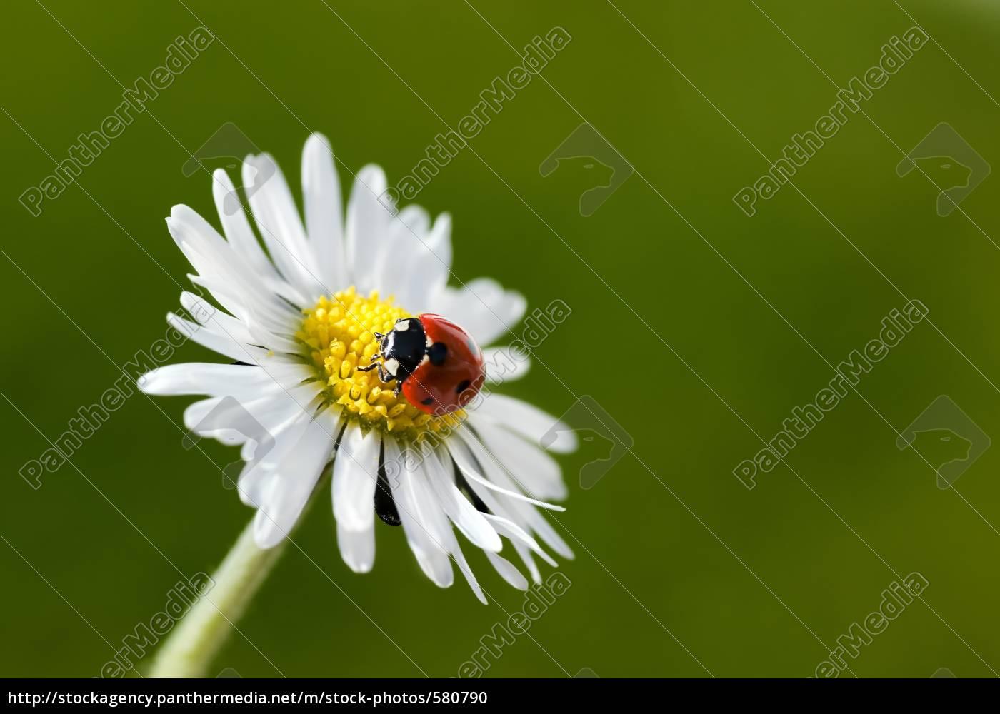 ladybugs, iv - 580790